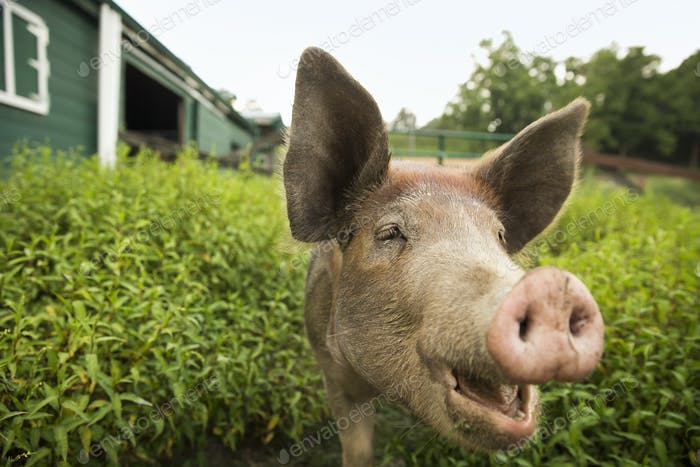 Ein Bio-Bauernhof in den Catskills. Ein Schwein.