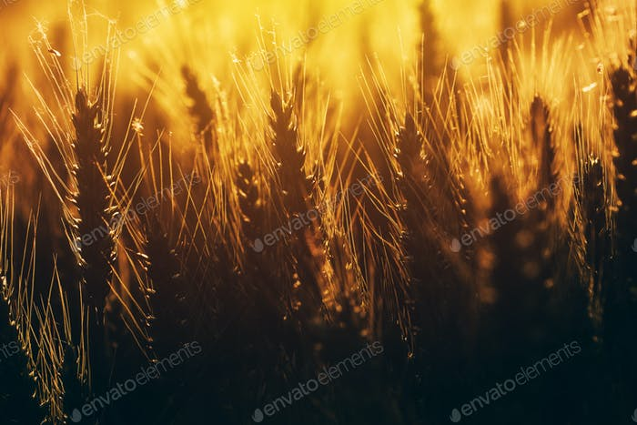 Cultivated agricultural wheat field