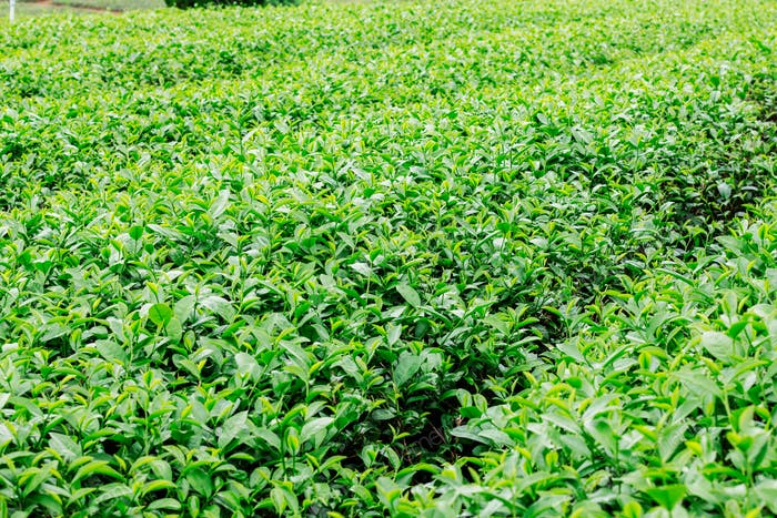 tea are growing with background