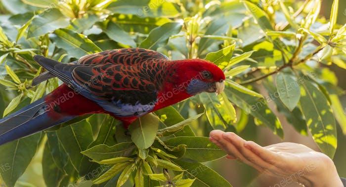 Crimson Rosella Wild