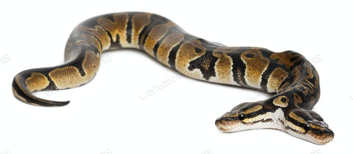 Two headed Royal Python or Ball Python, Python Regius, 1 year old, in front of white background