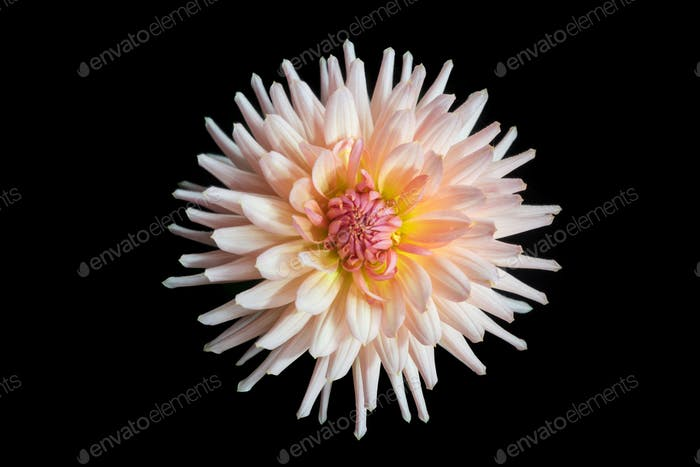 beautiful dahlia flower isolated