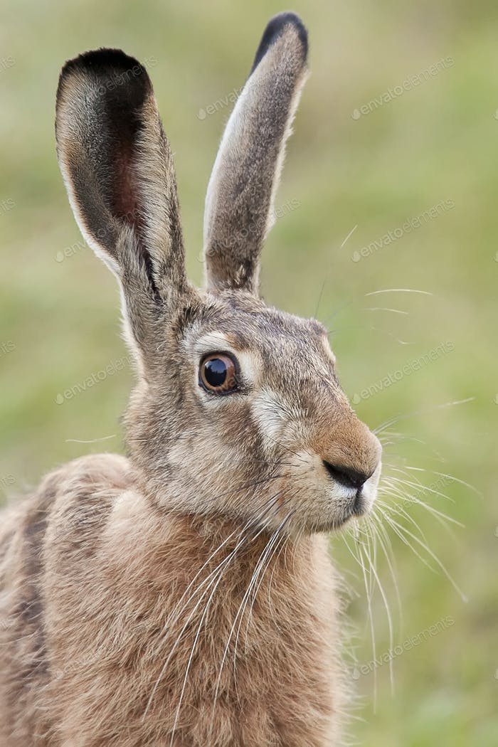 Hare in the wild, a portrait