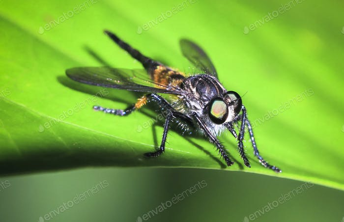 Fly on a Leaf in Costa Rica
