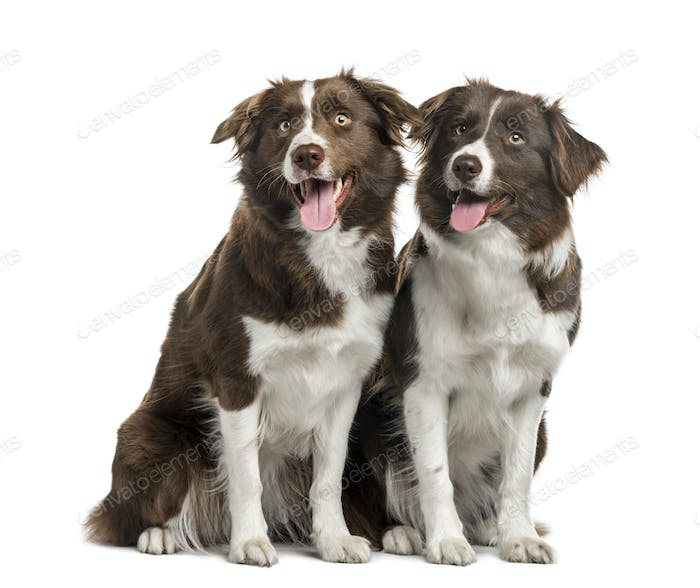 Couple of Border Collie isolated on white