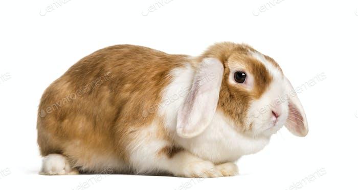 Rabbit lying, cut out