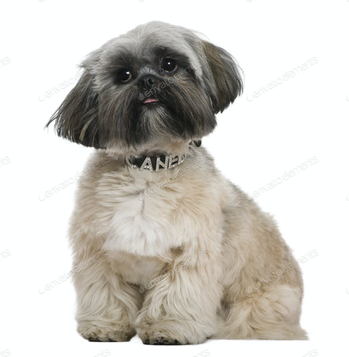Shih Tzu, 13 months old, in front of white background