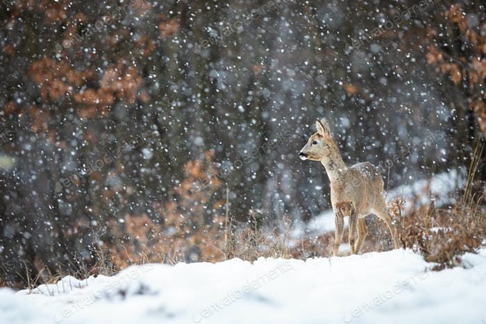 Weibliche Regendoe stehend auf einer Wiese bedeckt mit Schnee und Wald im Hintergrund
