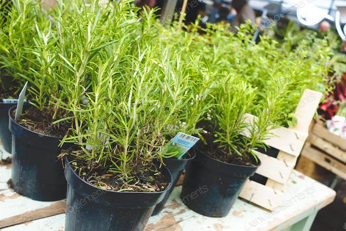 Töpfe mit lebendigem grünem Rosmarin auf dem Markt