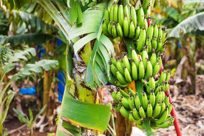 Green banana bunch on the banana plantation