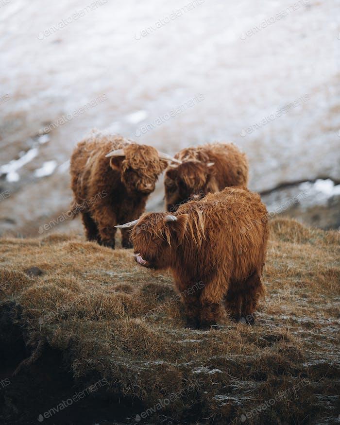 Scottish highland calves in the field