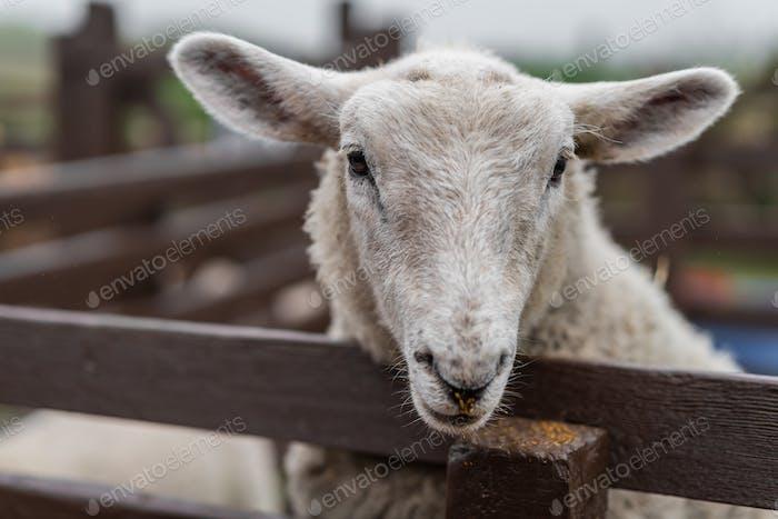 Niedliche Schafe auf dem Bauernhof