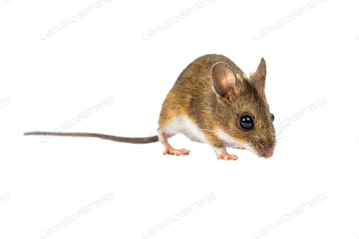 Field Mouse (Apodemus sylvaticus) with clipping path