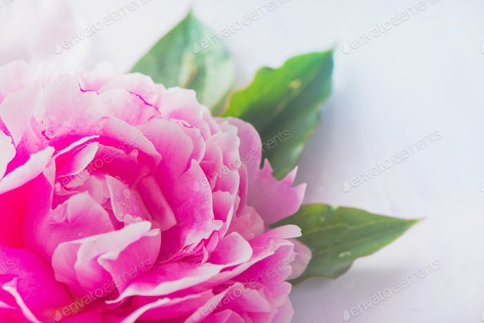 Peony flowers and petals with dew drops in macro