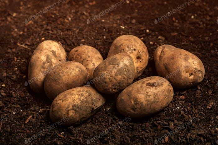 Harvested organic potato tuber on ground