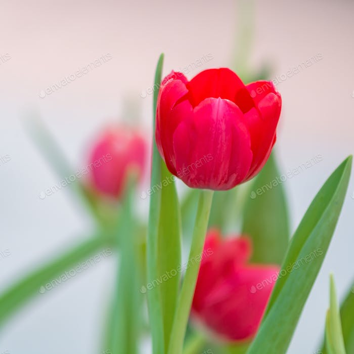 red tutip