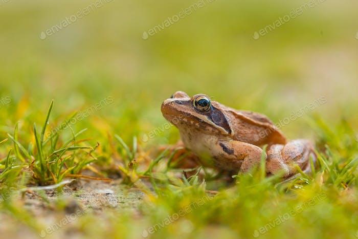 Lebendiger farbiger, agiler Frosch