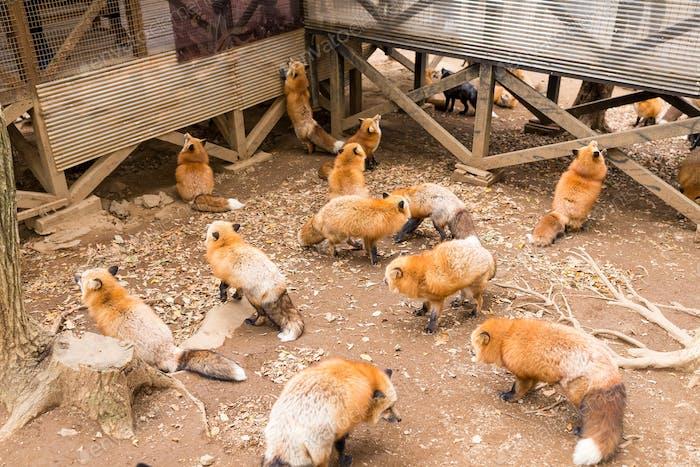 Group of fox