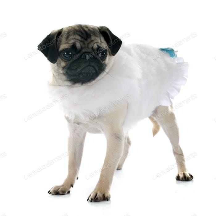 dressed puppy pug