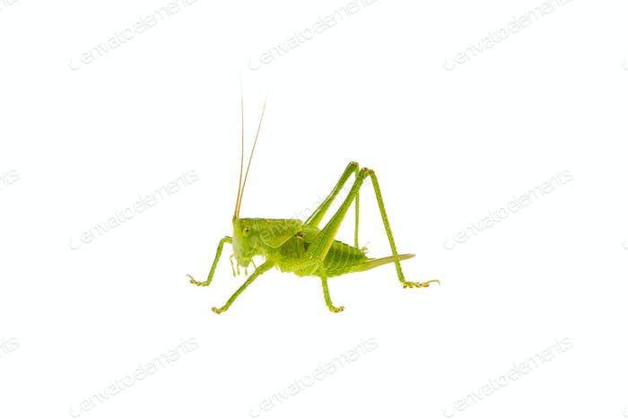 Grüne Heuschrecke auf weißem Hintergrund
