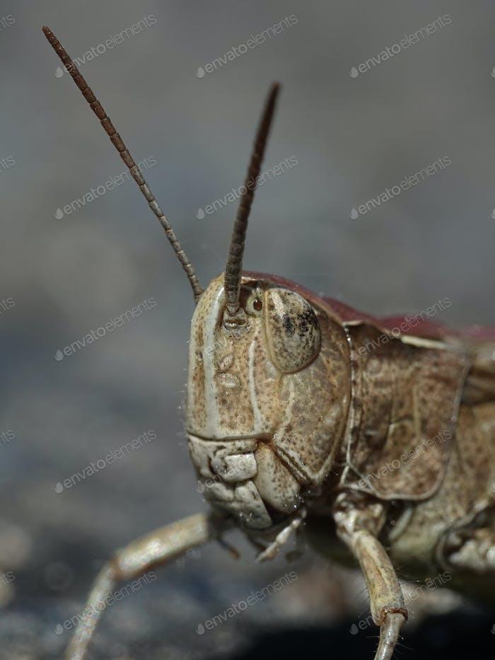 Heuschrecke (Orthoptera)