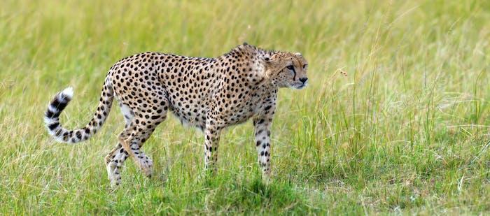 Wildafrikanischer Gepard