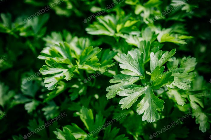 Fresh green organic parsley or chervil branches and leaves in a garden. Summer background.