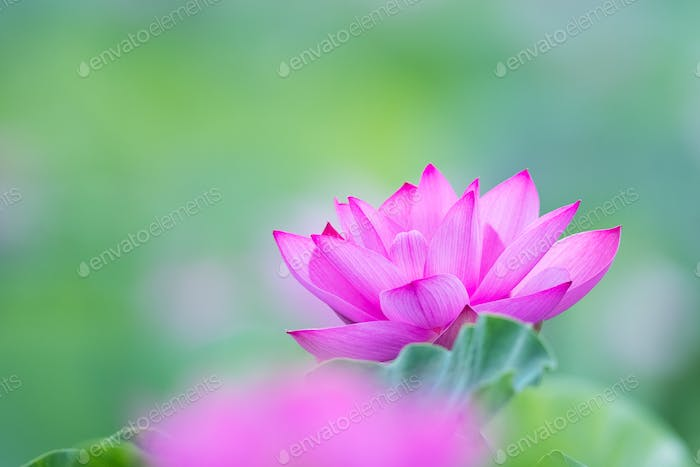 beautiful lotus flower in full bloom