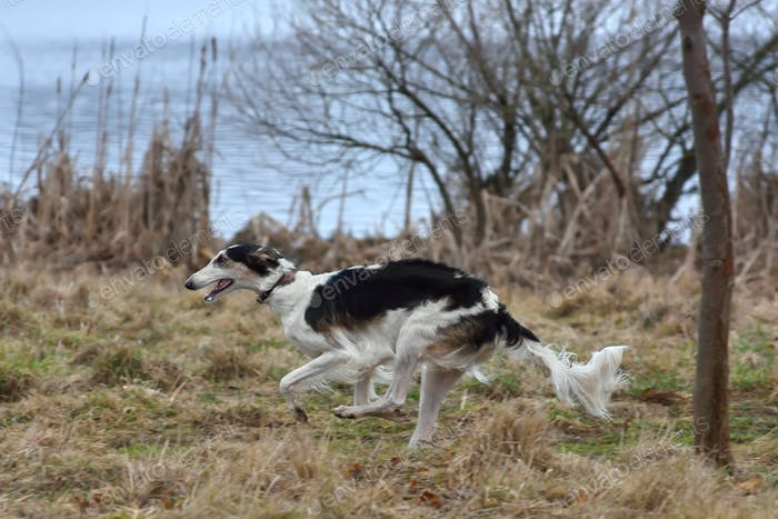 Running russian borzoi dog
