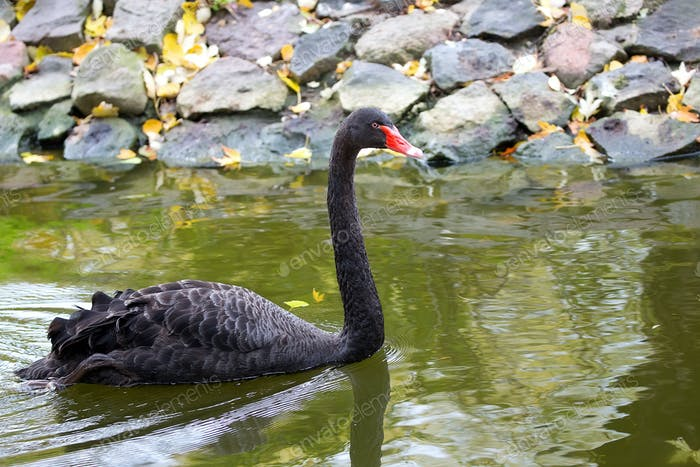 Black Swan in the wild