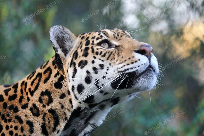 portrait of Jaguar (Panthera Onca) in natural habitat