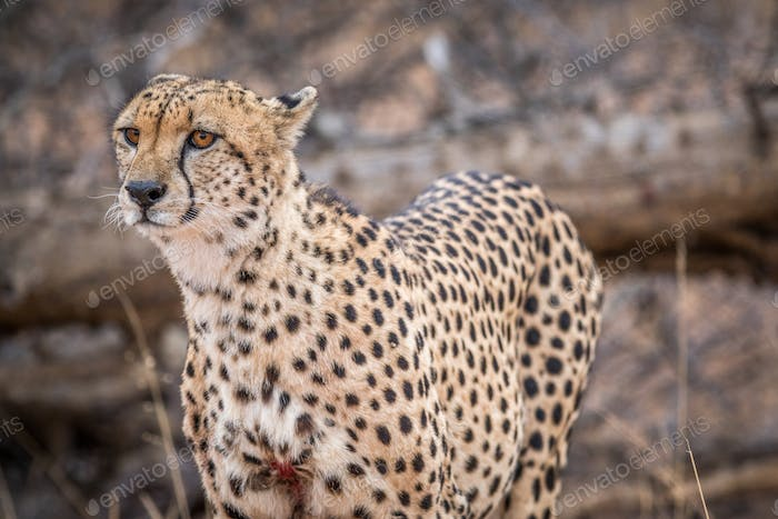 Wounded male Cheetah standing.
