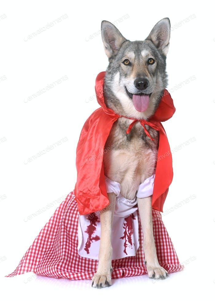 dressed Saarloos wolfdog in studio