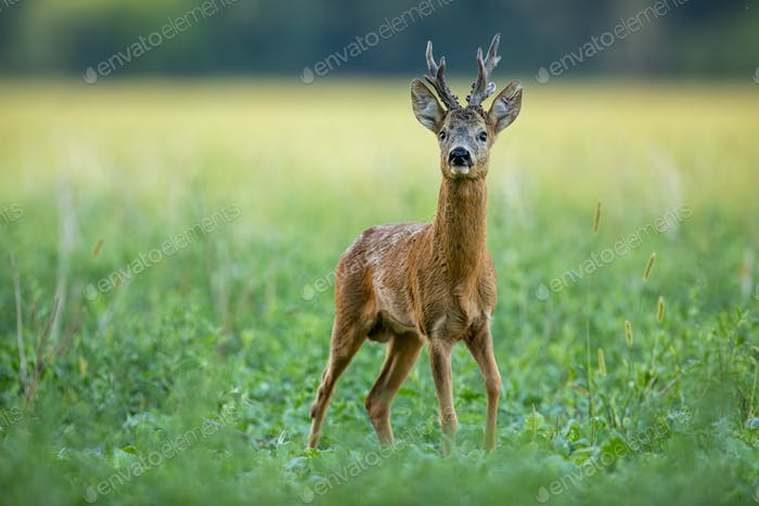 Dominant roe deer buck with massive antlers sniffing on a green field in summer