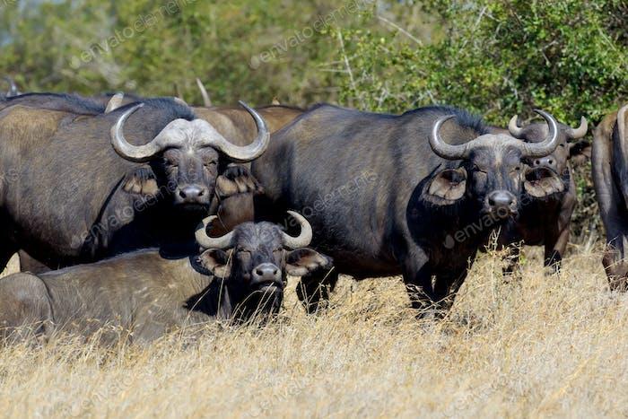 Wild African buffalo bull