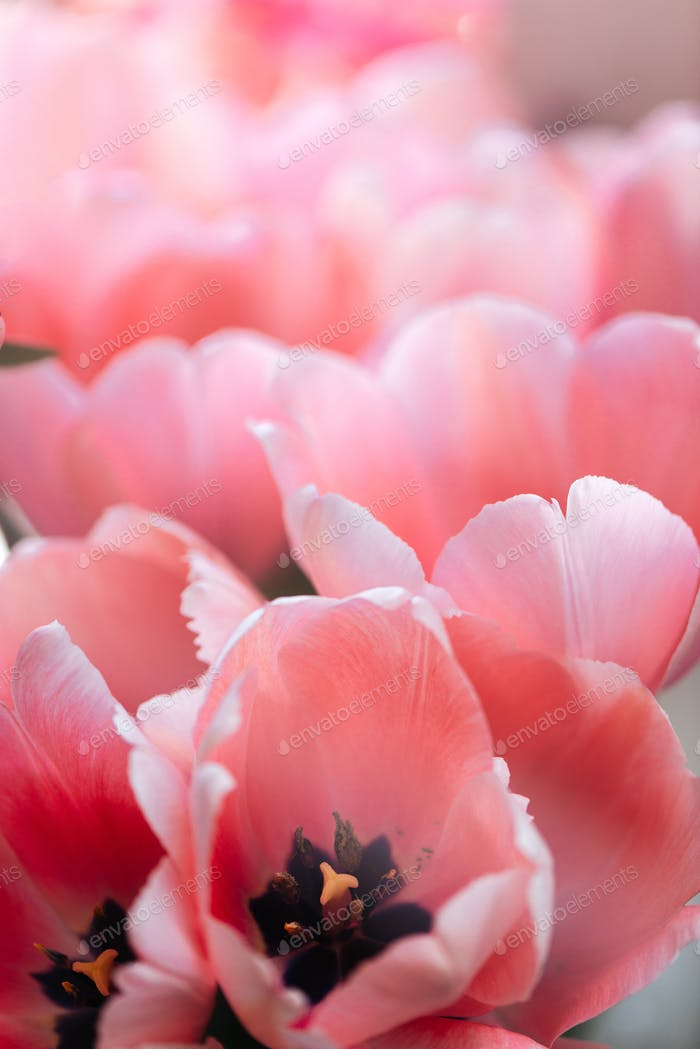 Fresh beautiful pink tulips