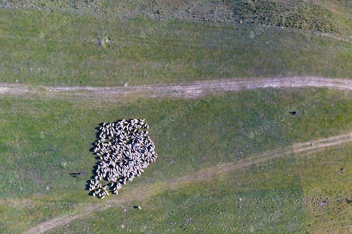Herd of sheep in spring field