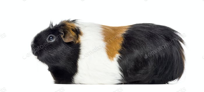 Side view of a Guinea pig, Cavia porcellus, isolated on white