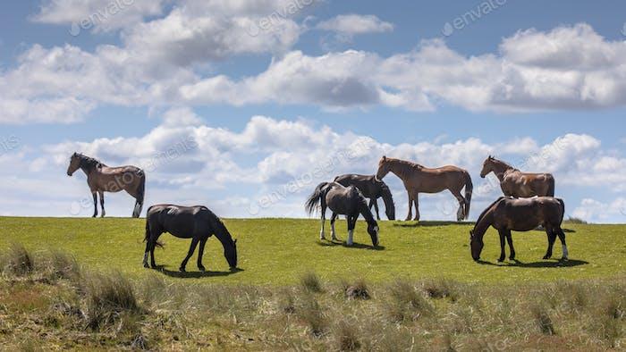 Wild horses large grazers