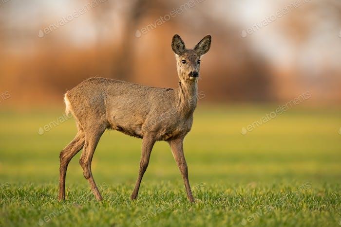 Cute roe deer doe walking on green field in spring nature at sunset