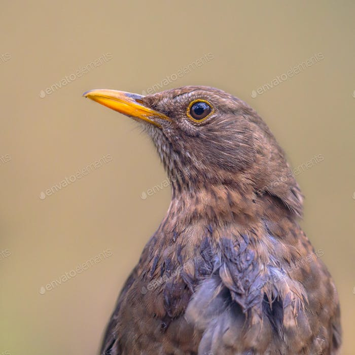 Portrait of Female Blackbird