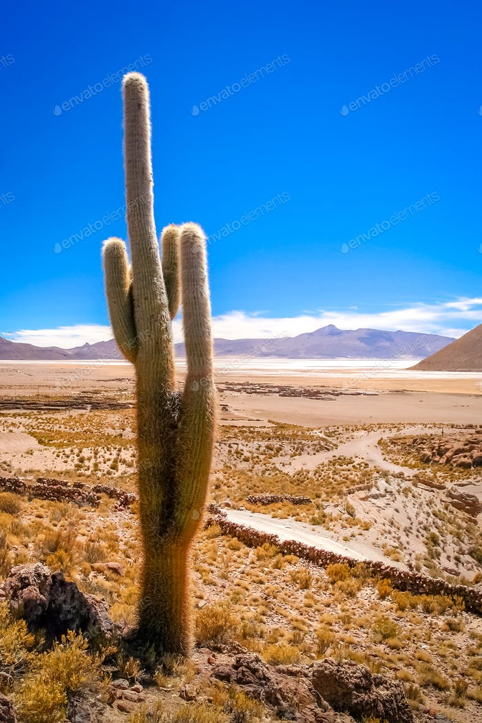 Single cactus growing on a pampa in Bolivia