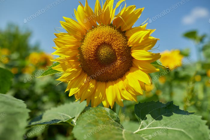 A sunny field of sunflowers in glowing yellow light.