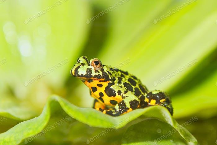 Frosch Orientalische Feuerbauchkröte (Bombina orientalis) sitzend auf grünem Blatt