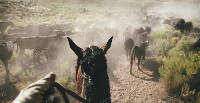 The perspective of a cowboy on horseback herding cattle in a dusty rural landscape.
