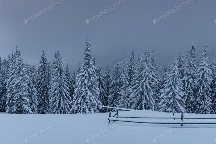 Majestic winter landscape, pine forest with trees covered with snow. A dramatic scene with low black
