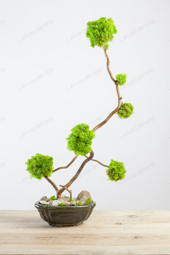 Marimo moss ball tree bonsai tree