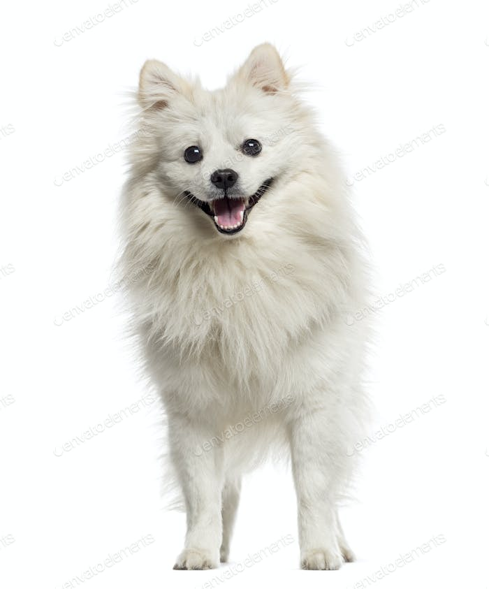 German Spitz panting (18 months old)