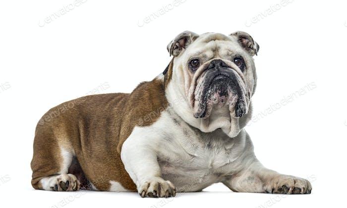 English Bulldog, dog, isolated on white