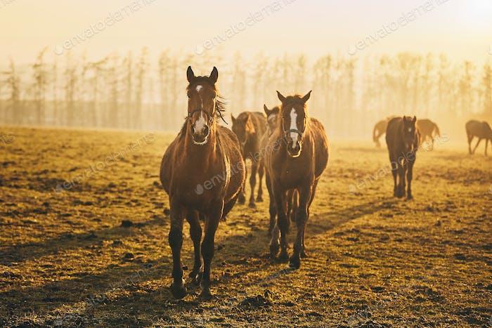 Herde von Pferden bei Sonnenuntergang
